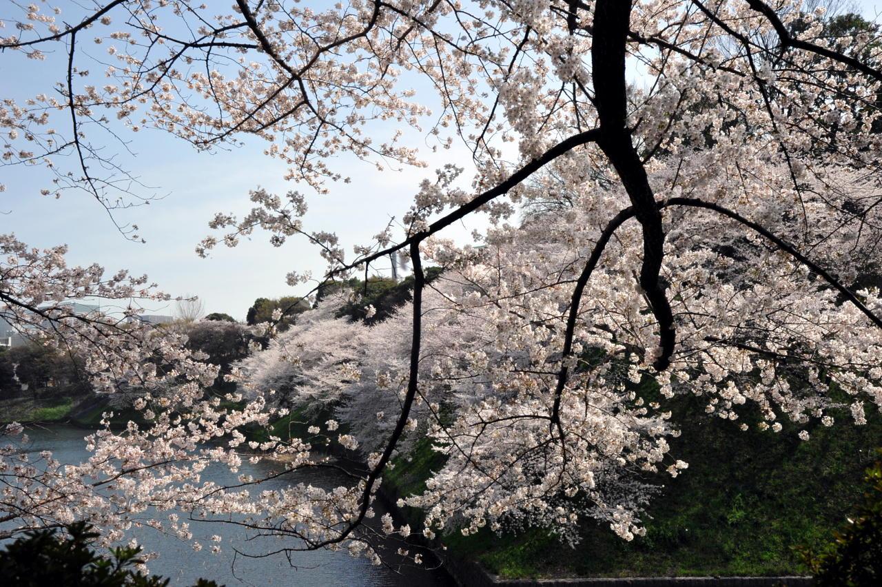 CherryBlossom04