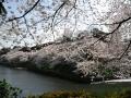 CherryBlossom02