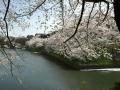 CherryBlossom03