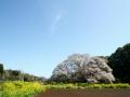 CherryBlossom06