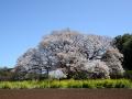 CherryBlossom07