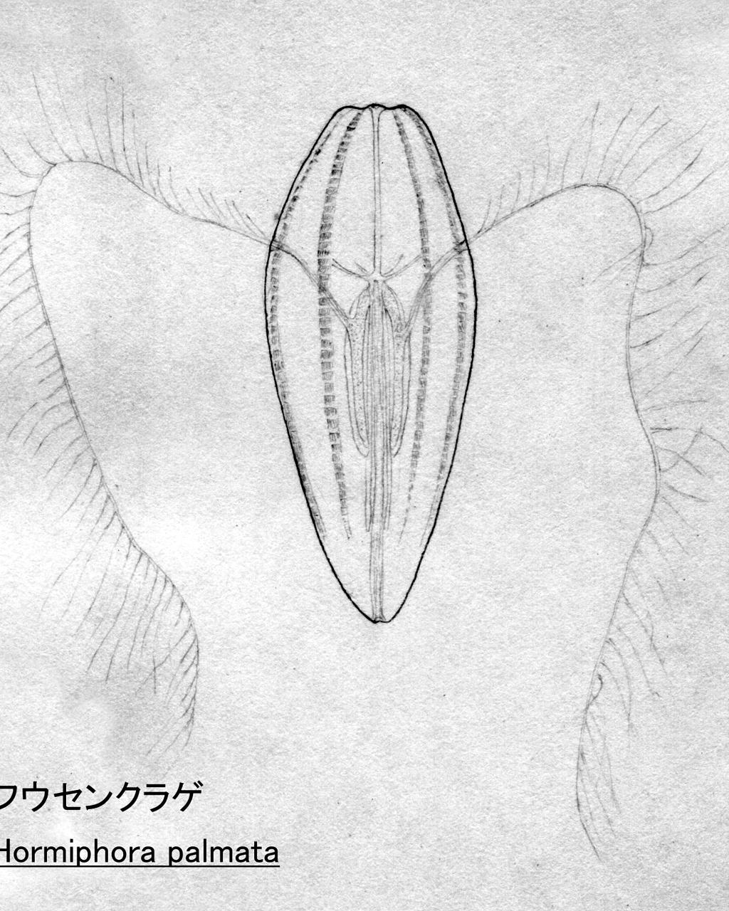 フウセンクラゲ