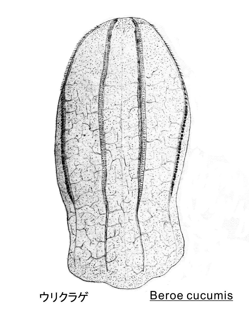 ウリクラゲ